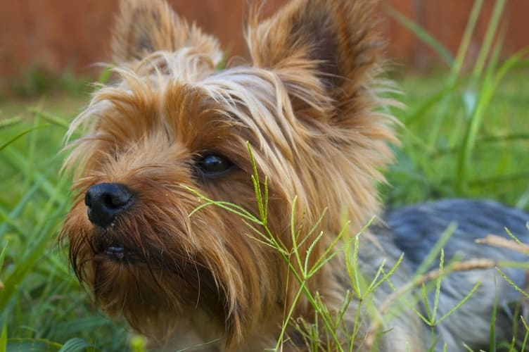 How To Take Care Of Yorkie Puppies