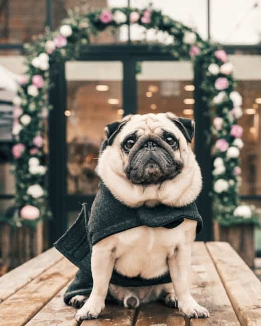 Luxurious dog accessories to get
