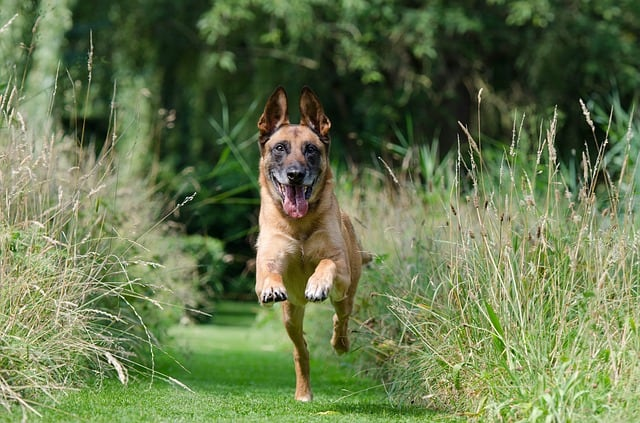 A brown dog walking across a grass covered field