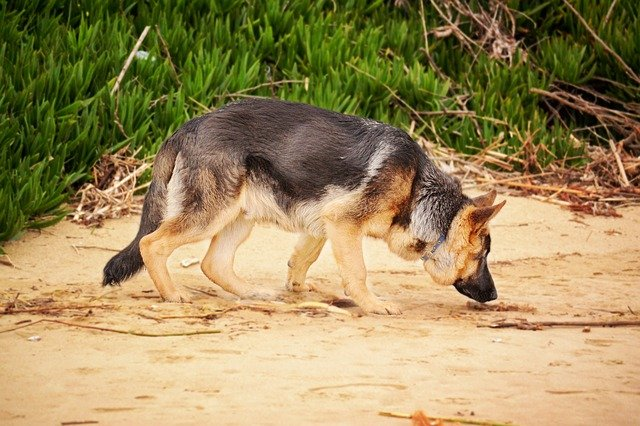 A dog drinking water from a beach